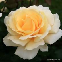 www.kordes-rosen.com