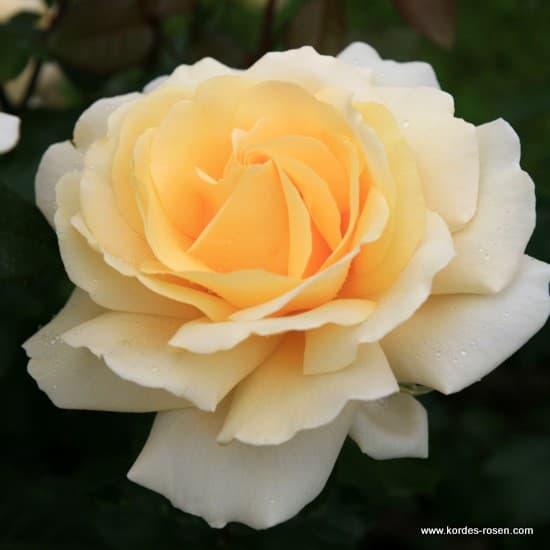 Winter Sun® - Teahibrid rózsa
