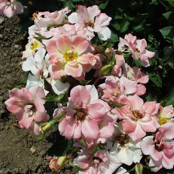 Benedek Elek emléke - Polianta rózsa