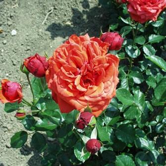 Borbála - Teahibrid rózsa