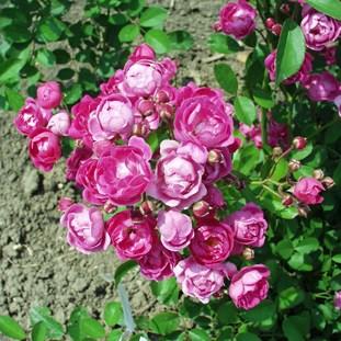 Dayka Margit emléke - Polianta rózsa