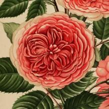 Journal des Roses, 1896