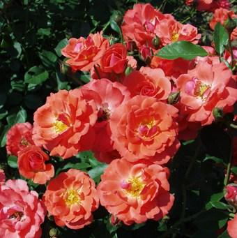 Domokos Pál Péter emléke - Polianta rózsa