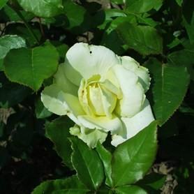 Esztergom - Floribunda rózsa