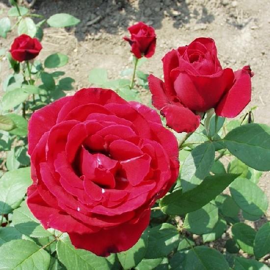Fadrusz János emléke - Teahibrid rózsa