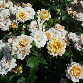 Gandhi - Polianta rózsa