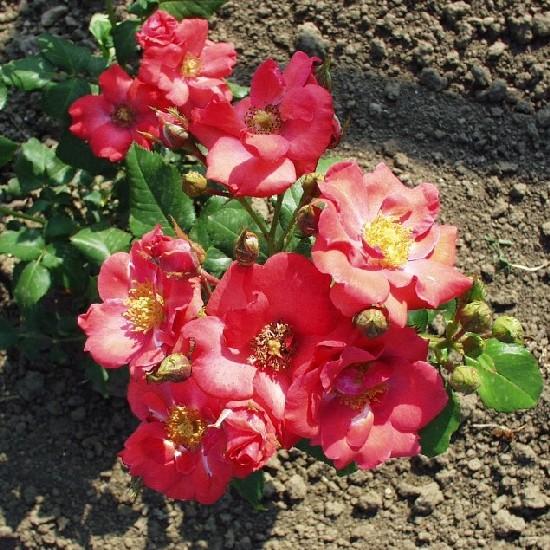 Garamszentbenedek - Floribunda rózsa