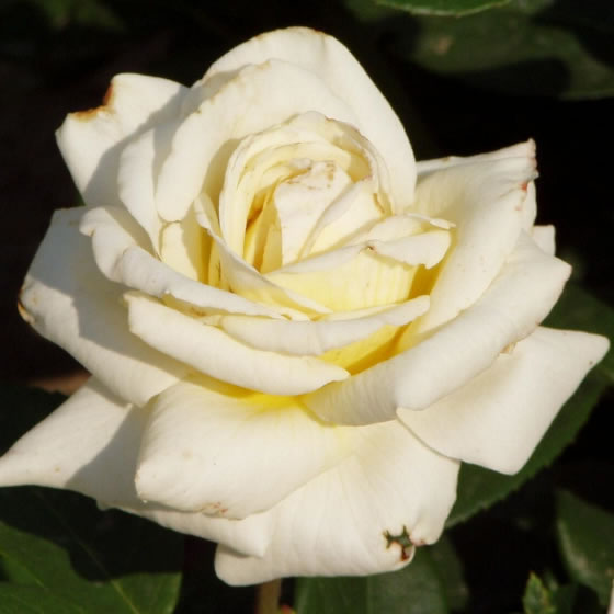 Hargita - Teahibrid rózsa