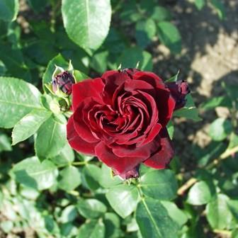 II. Rákóczi Ferenc emléke - Floribunda rózsa