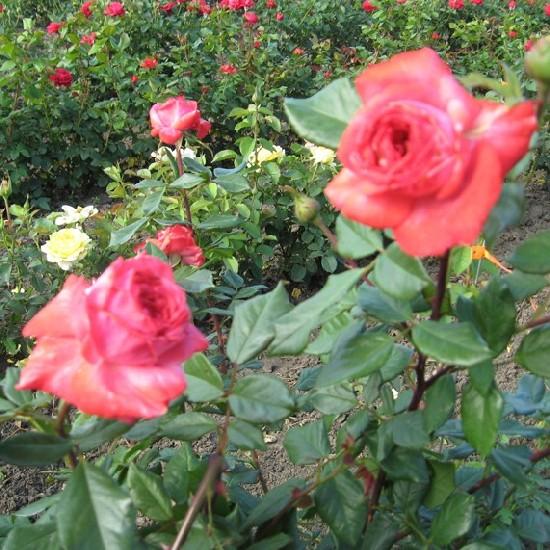 Józseffalva - Teahibrid rózsa