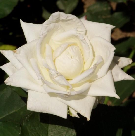 Julianus barát - Teahibrid rózsa