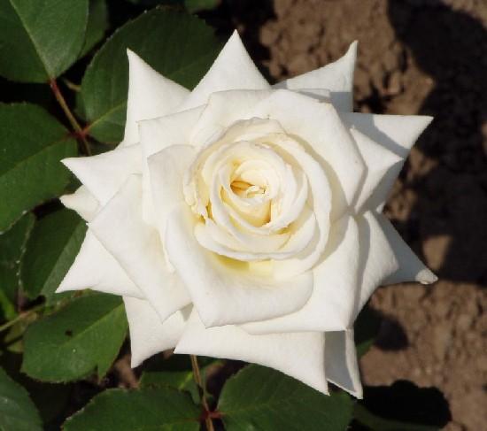Kassa - Teahibrid rózsa