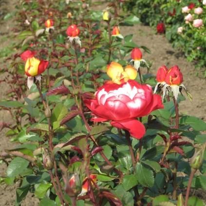 Kígyóssy Éva - Teahibrid rózsa