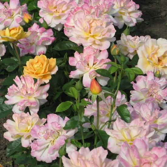 Mezey Mária emléke - Teahibrid rózsa