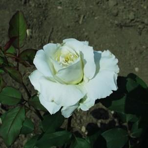 Mindszenty József emléke - Teahibrid rózsa