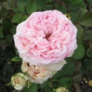 Ozora - Teahibrid rózsa