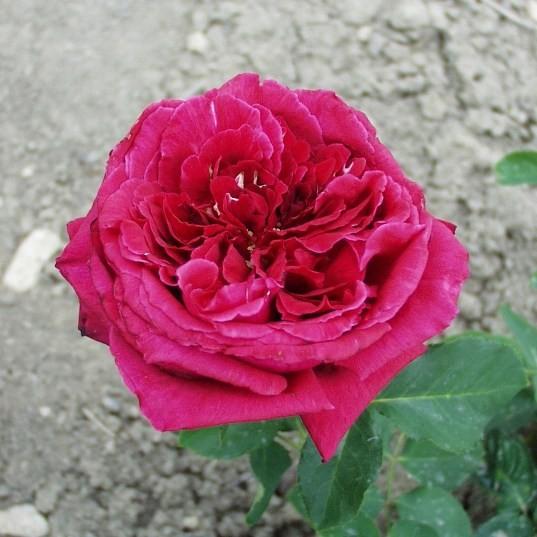 Pannonhalma - Teahibrid rózsa