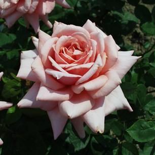 Pozsony - Teahibrid rózsa