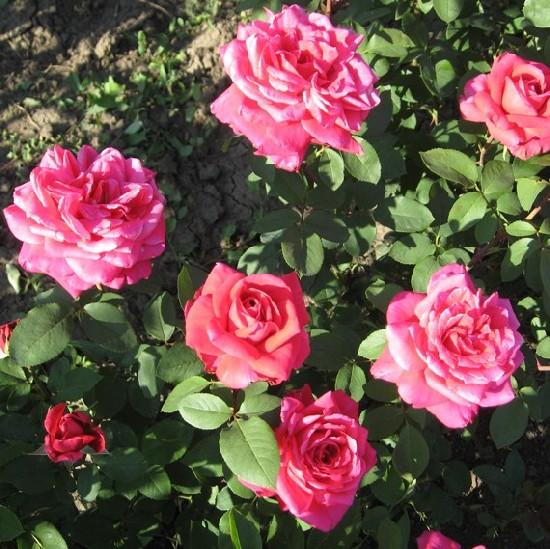Salkaházi Sára emléke - Teahibrid rózsa