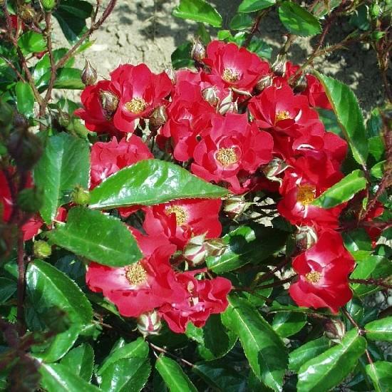 Savaria - Polianta rózsa