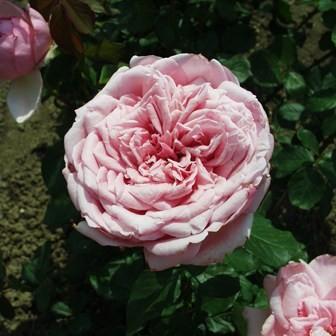 Tisza - Teahibrid rózsa