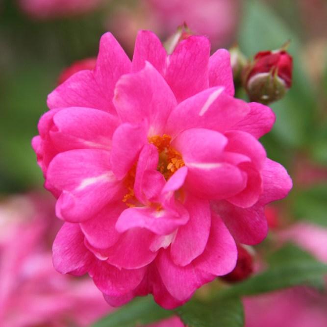 Adolf Kolping emléke - Polianta rózsa