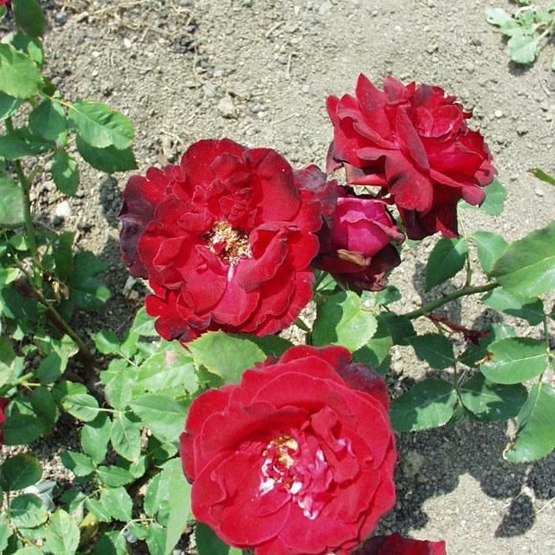 Alba regia - Teahibrid rózsa