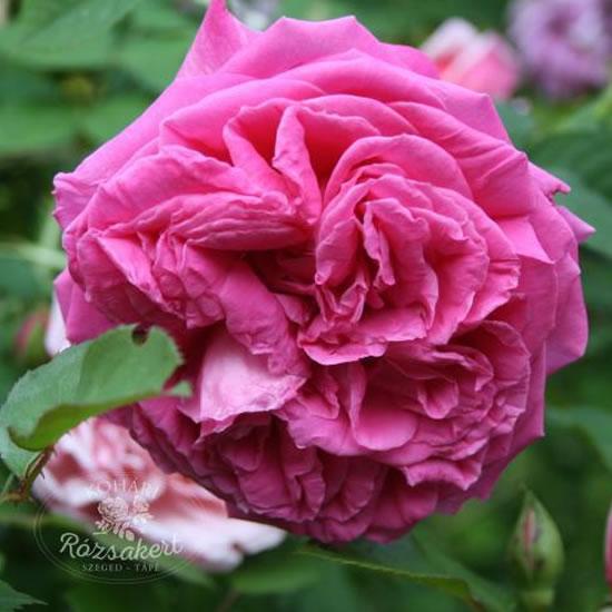 Aurelia Liffa - Setigera hibrid rózsa