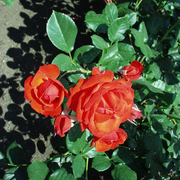 Berecsényi Miklós emléke - Floribunda rózsa