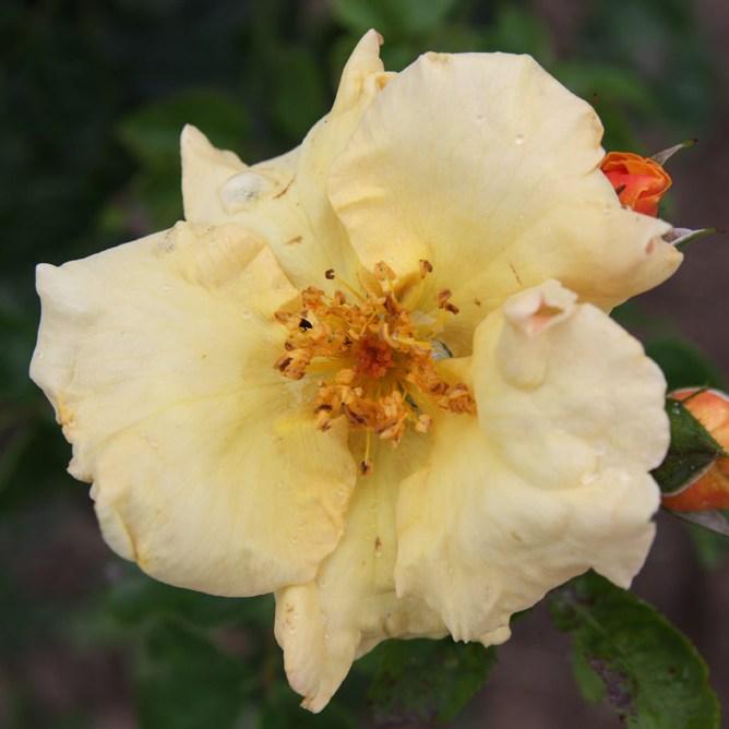 Bereczki Máté emléke - Floribunda rózsa