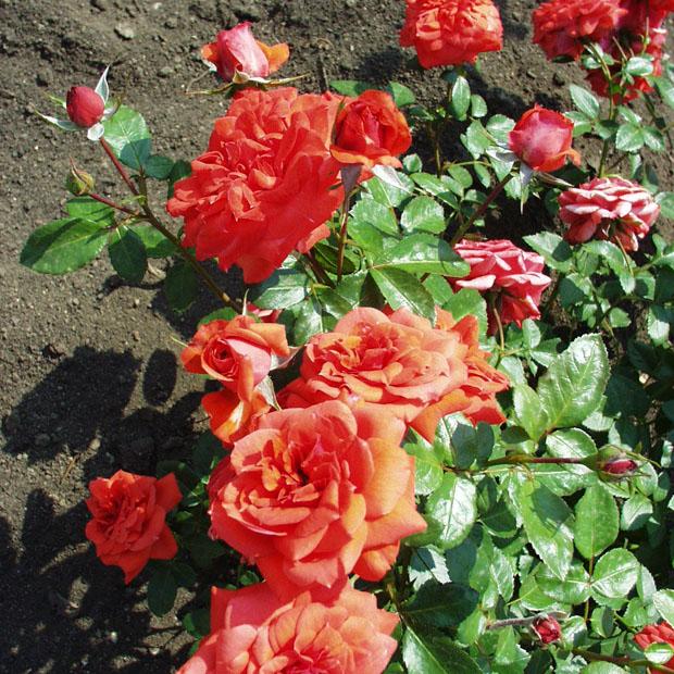 Berzsenyi Dániel emléke - Floribunda rózsa