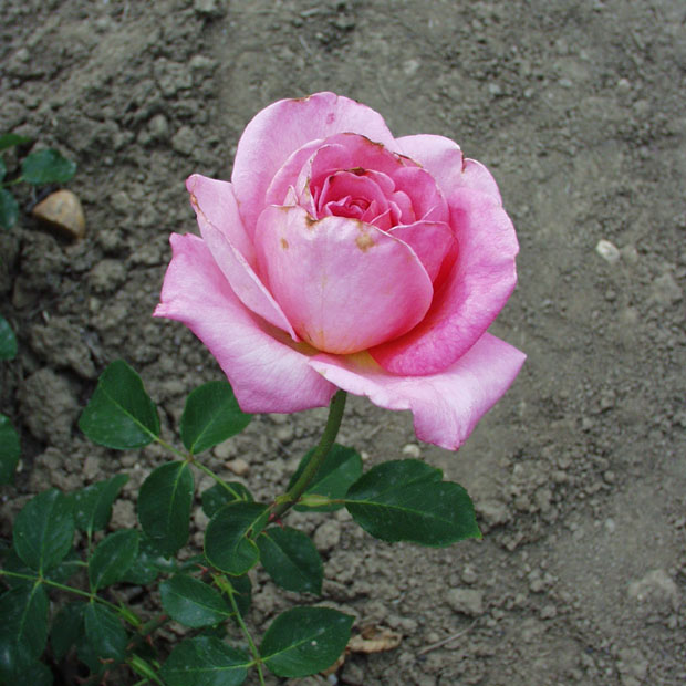 Bethlen Kata emléke - Teahibrid rózsa