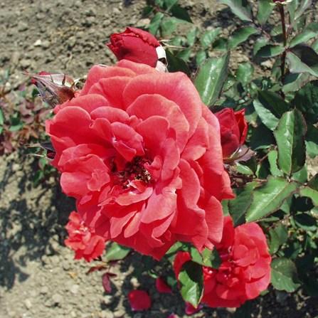 Bihar - Floribunda rózsa