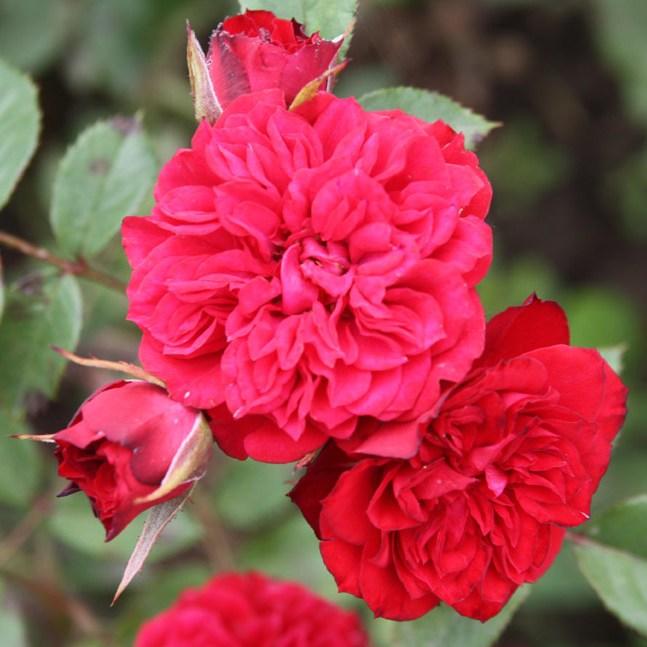 Botond - Miniatűr rózsa