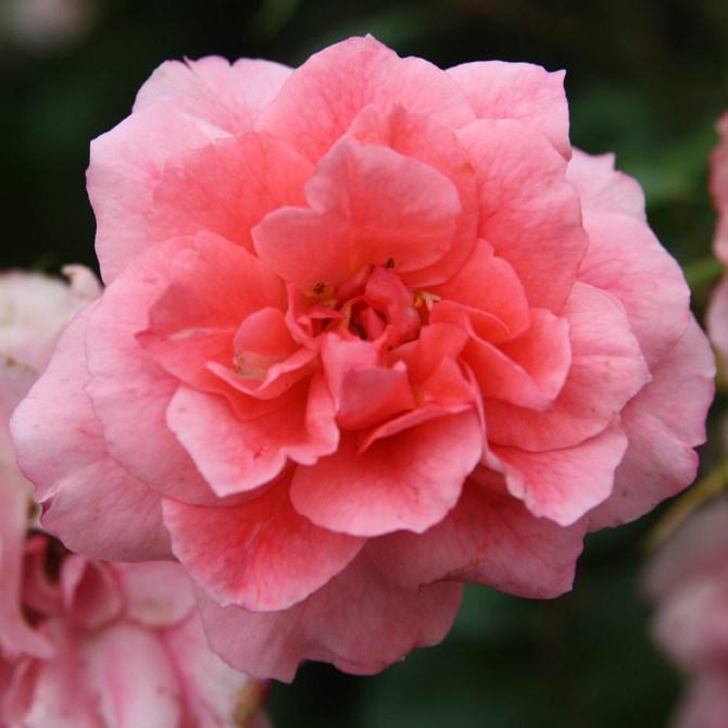 Brunszvik Teréz emléke - Floribunda rózsa