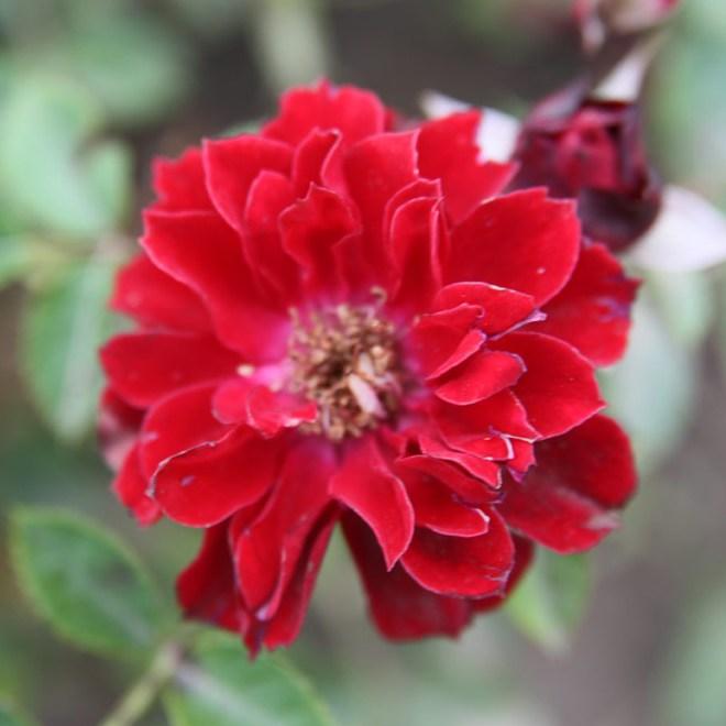 Cinka Panna - Miniatűr rózsa