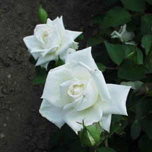 Csalhó - Teahibrid rózsa