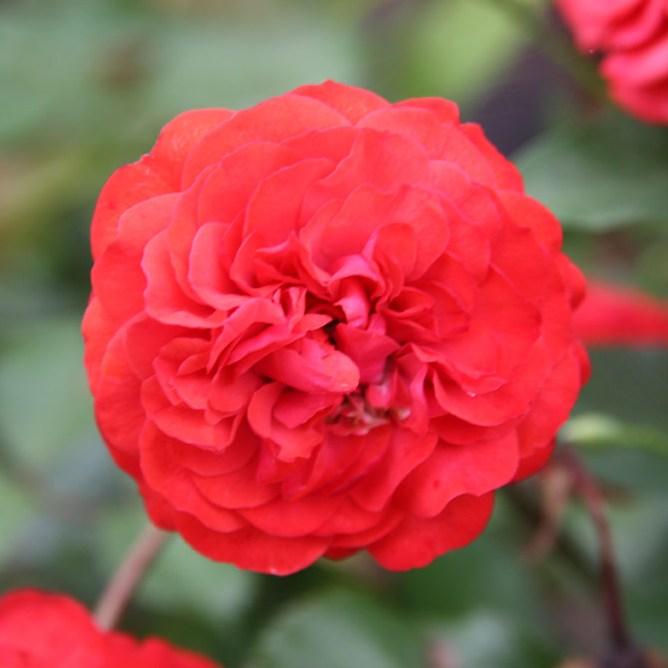 Darjeelingi emlék - Floribunda rózsa