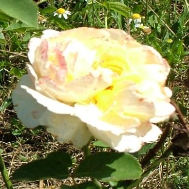Délibáb - Teahibrid rózsa