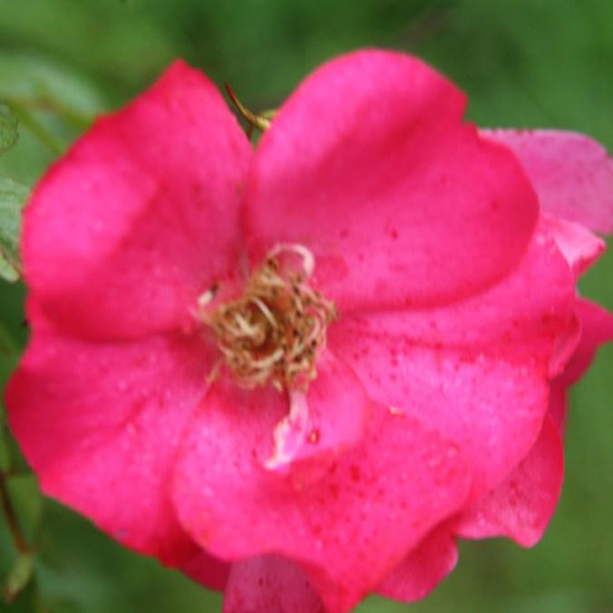 Ditró - Floribunda rózsa