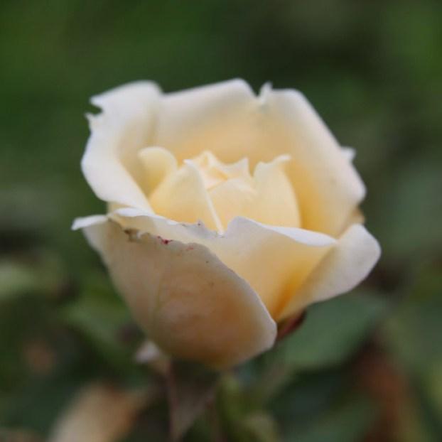 Dobó Katica - Floribunda rózsa
