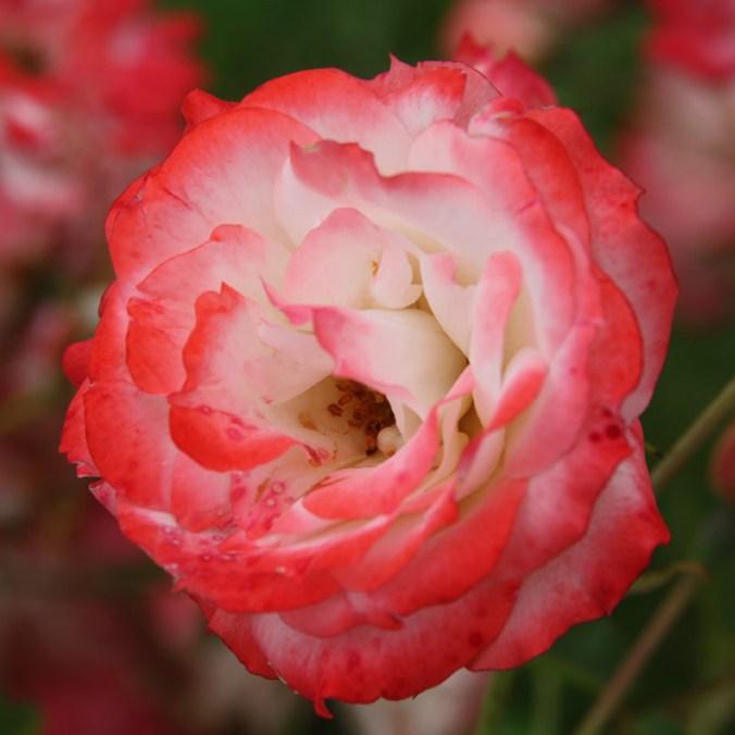 Dsida Jenő emléke - Polianta rózsa