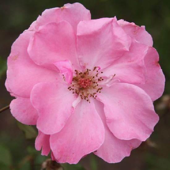Egressy Béni emléke - Floribunda rózsa