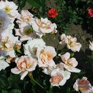 Erzsébet királyné emléke - Floribunda rózsa