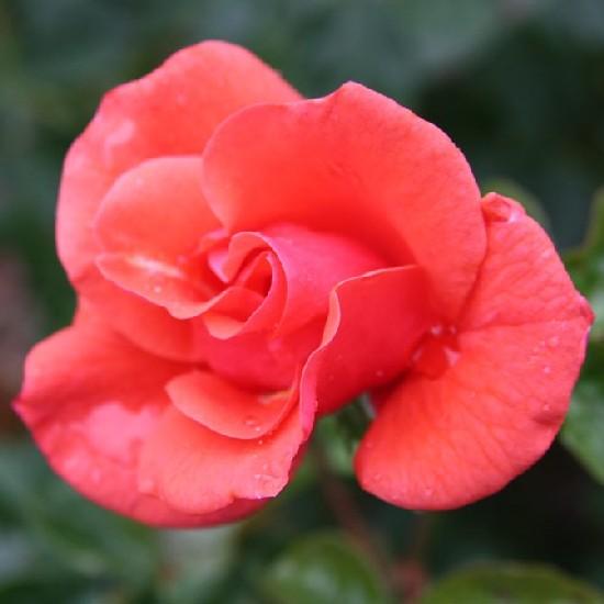 Esze Tamás emléke - Floribunda rózsa