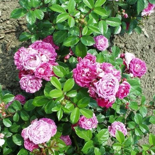 Fehéregyháza - Miniatűr rózsa