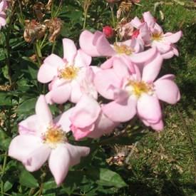 Fiume - Polianta rózsa