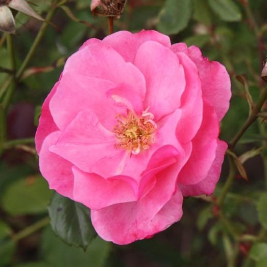 Géderlak - Floribunda rózsa
