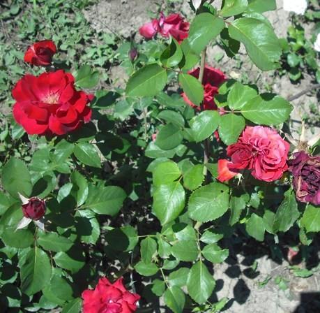 Gelence - Floribunda rózsa