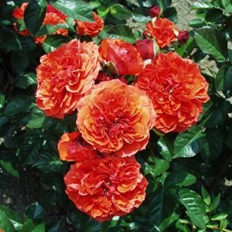 Gül Baba - Floribunda rózsa